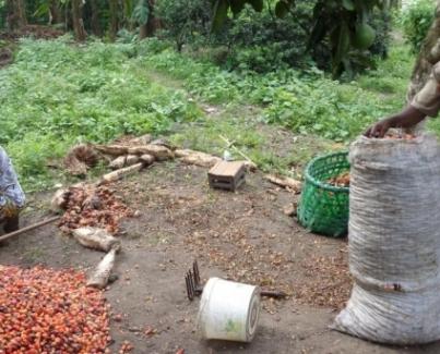 Les petits producteurs d'huile de palme